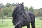 Czerodziej gelding sp. born:14.09.2007 black height:169cm f.Sword xx/Glimerman xx  m.Czara/Rubinsohn han
