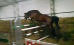 Celpa II - YouTube1 mare born:23.03.2006 bay height: 170cm m.Cerla/Dzięgiel f. Aravel Waro/Luron  kwpn(Quidam de Revel s.f. line)