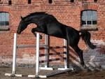 Jacek Krukowski Matrix gelding half-breed born:07.10.2003 dark-bay, height:167cm m. Malwa/Wiąz f. Aravel Waro/Luron kwpn. (Quidam de Revel s.f. line) Starts: showjumping 140 cm.